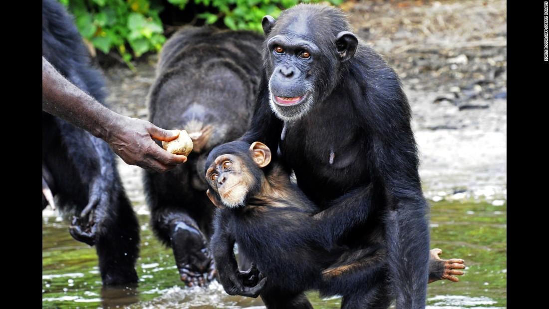 150910120334-05-liberia-chimps-super-169